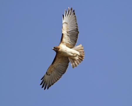 hawk: Red Tailed Hawk In flight Stock Photo