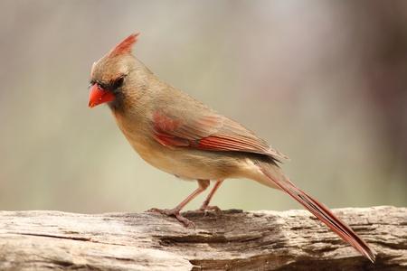 Female Cardinal photo