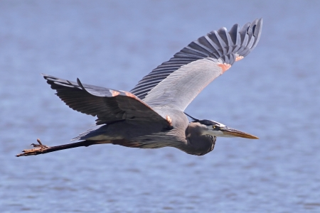 heron: Great Blue Heron in flight