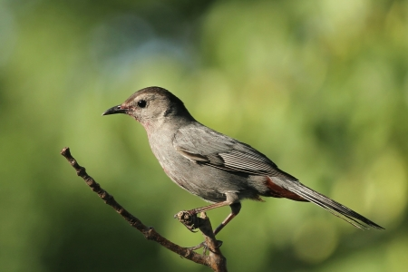 Catbird, makes a meow sound, a new visitor to my yard  Stock Photo