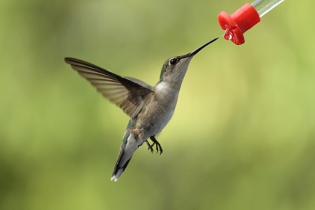 feeder: Female ruby throated Hummingbird enjoying some sweet nectar from the new feeder I bought today