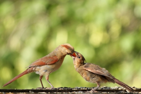 Mommy Cardinal feeding her young