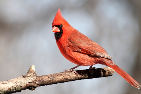 avian: A male Cardinal bird