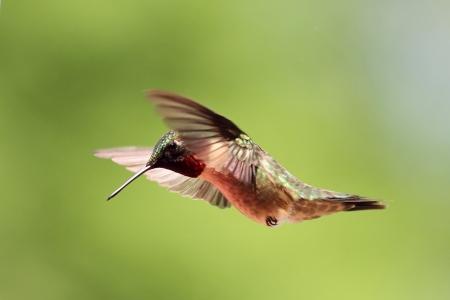 ruby throated: Ruby throated hummingbird