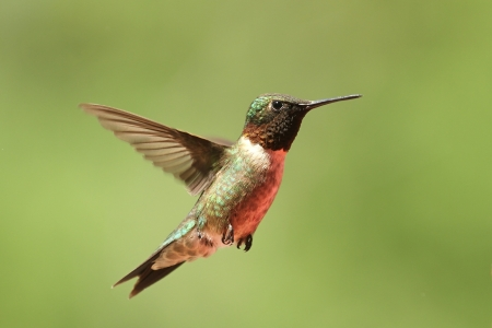 Ruby throated hummingbird  版權商用圖片