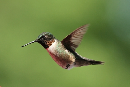 ruby throated:  Ruby throated hummingbird  Stock Photo