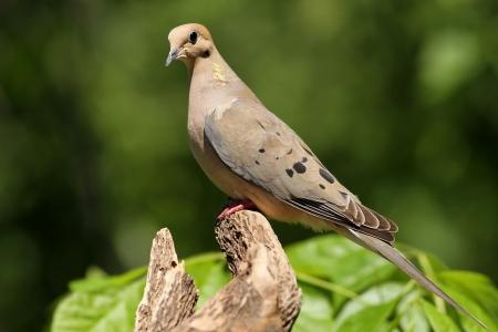 喪の鳩がミズーリ州の私のためにポーズ 写真素材