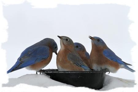 Eastern Blue birds drinking water