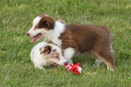 shepard: Australian Shepard Puppy\\