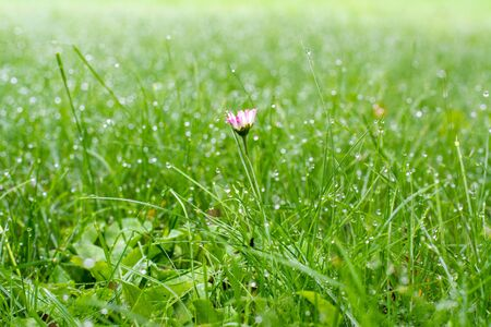 Dewy grass and small blooming flower in the early morning