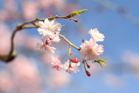 landscape flowers: cherry blossom