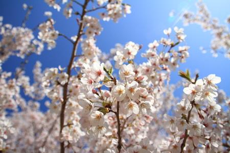 Row of cherry blossom trees in Izu, Shizuoka, Japan