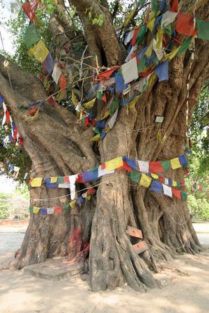 gautama buddha: Bodhi tree in Lumbini, Nepal