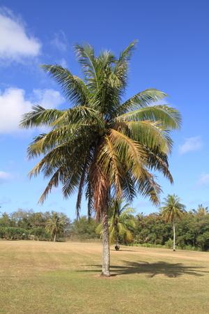 guam: palm tree in Guam Stock Photo