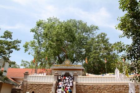 anuradhapura: Sri Maha Bodhi in Anuradhapura, Sri Lanka