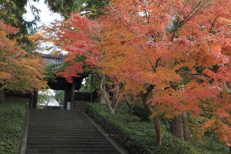 鎌倉の円覚寺の紅葉します。