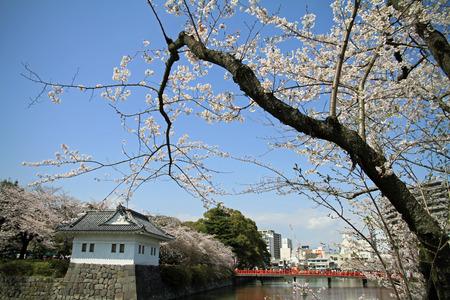 odawara: Odawara Castle and cherry blossoms