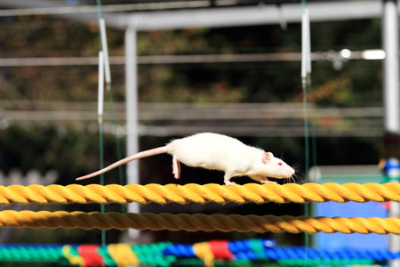 house mouse: House mouse on the rope