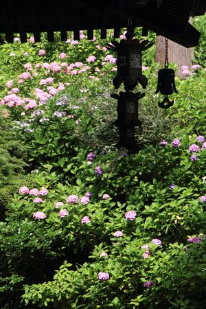 hase: Hydrangea at Hase temple, Kamakura, Japan Stock Photo