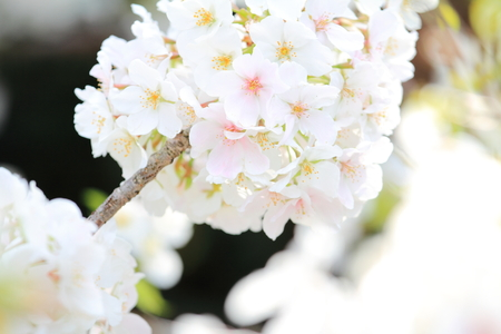early blossoms: Beautiful cherry blossoms in early spring of Japan