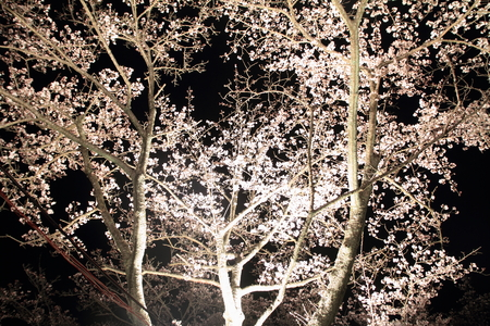 early blossoms: Beautiful cherry blossoms in early spring of Japan (night scene)