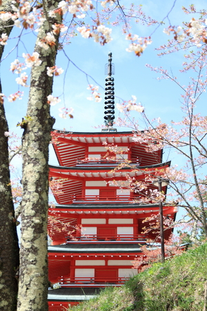 sengen: Cherry blossoms with five storied pagoda at Arakura yama Sengen park