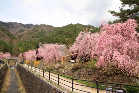 saiko: Japanese thatched roof house and cherry blossoms in Saiko Yamanashi, Japan