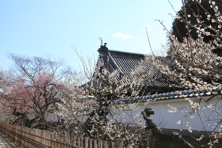 plum grove in Kodokan, Mito, Ibaraki, Japan Stock Photo