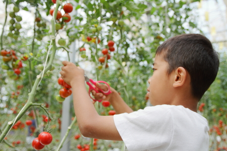 Japanese boy picking cherry tomato (second grade at elementary school)