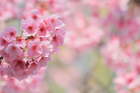 cherry blossoms under the blue sky