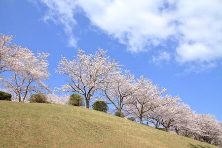 row of cherry blossom trees at Higashi Izu cross country course, Shizuoka, Japan