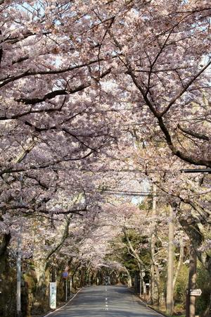 tunnel of cherry blossoms in Izu highland, Shizuoka, Japan
