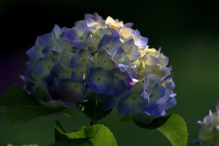 hydrangea in Kamakura, Kanagawa, Japan (one light blue flower) 写真素材