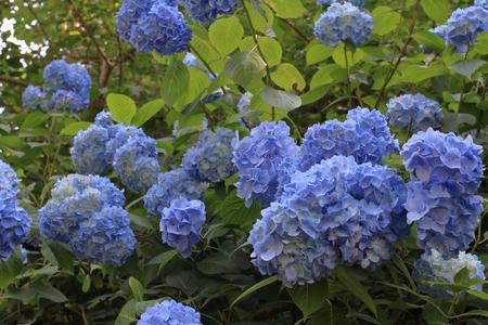 hydrangea in Kamakura, Kanagawa, Japan (blue)