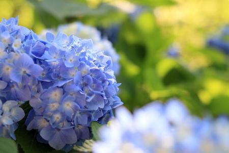hydrangea in Kamakura, Kanagawa, Japan (one blue flower)