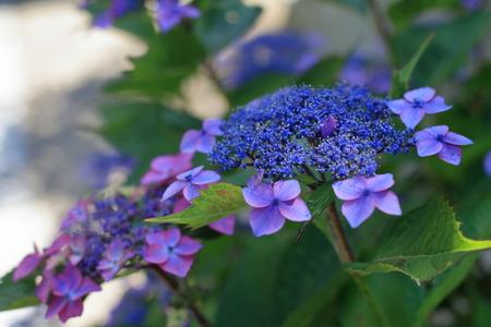 hydrangea in Kamakura, Kanagawa, Japan (bluish purple)