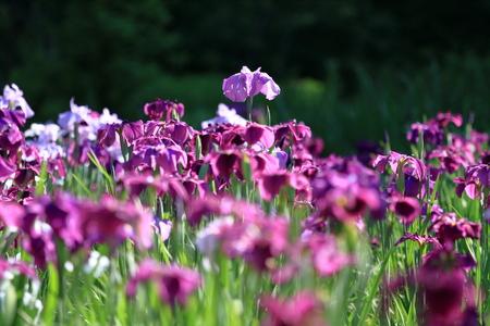 Japanese iris 写真素材