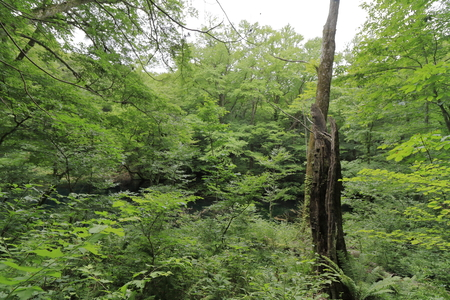 stump in fagus forest, Shirakami Sanchi, Aomori, Japan