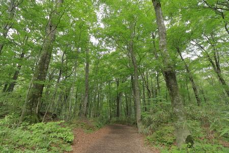 fagus forest in Shirakami Sanchi, Aomori, Japan