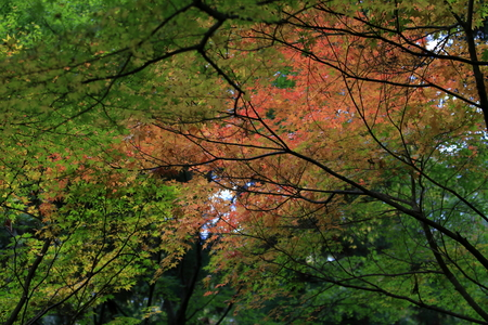 autumn leaves (red) 写真素材