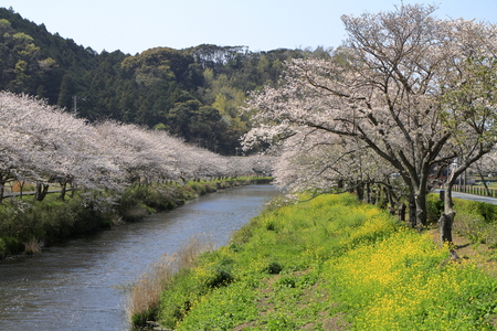 row of cherry blossom trees and field of rapeseed along riverbank of Naka river, Izu, Japan