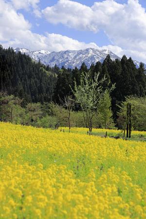 field of rapeseed and Echigo mountains in Uonuma, Niigata, Japan Standard-Bild - 124941783