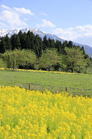 field of rapeseed and Echigo mountains in Uonuma, Niigata, Japan Standard-Bild - 124941784