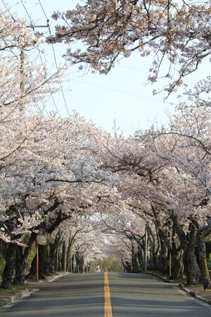 tunnel of cherry blossoms in Izu highland, Shizuoka, Japan