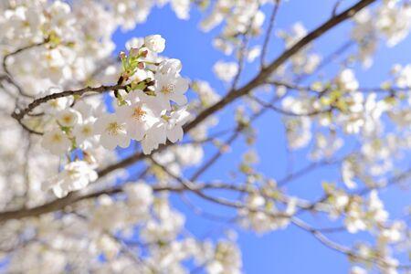 Yoshino cherry blossoms under the blue sky