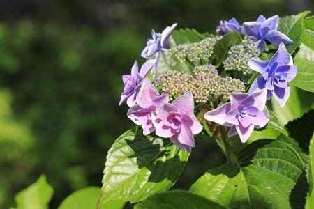 Hydrangea (bluish purple)