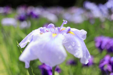 Japanese iris (single flower) Stok Fotoğraf