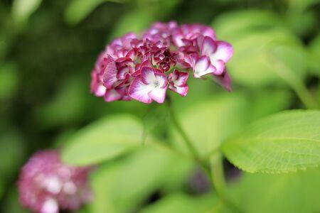 Hydrangea (one purple)