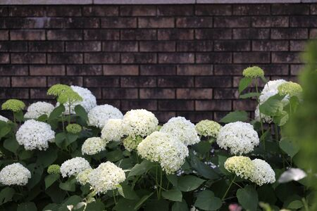Hydrangea (white) and bricks wall