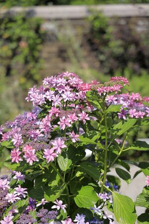hydrangea (red-purple)